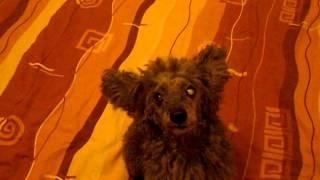 Собака делает фокус с ушами!