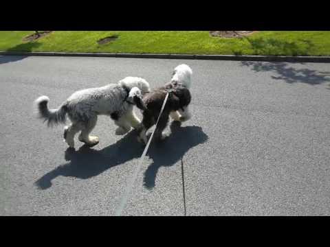 Teddy and Panda - 2 dogs, 1 lead - walkies