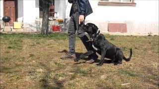 Училище за кучета - Обучение на кучета