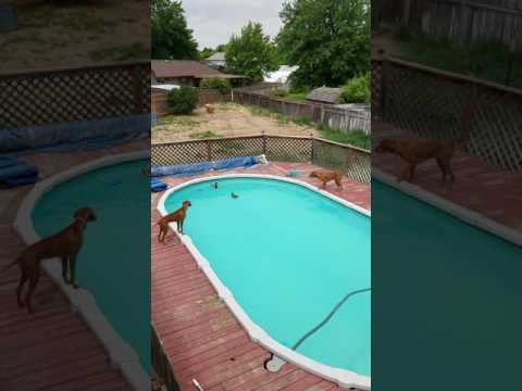 Vizslas fond the ducks in our pool