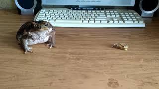 Жаба ага еда