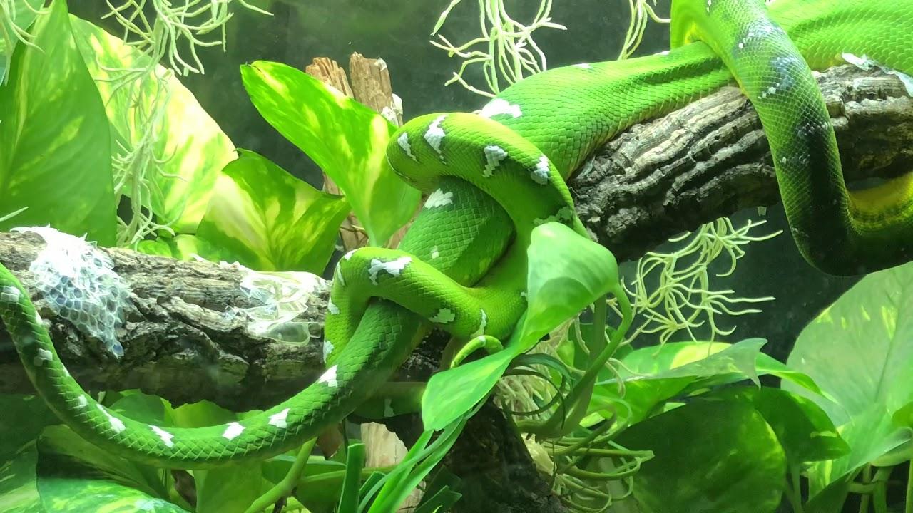 Corallus caninus breeding ,cortejo, boa esmeralda - YouTube