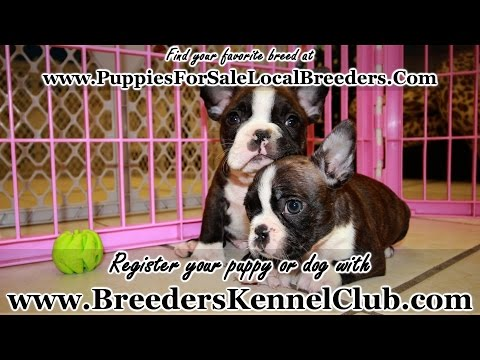 FRENCHTON PUPPIES FOR SALE IN GEORGIA LOCAL BREEDERS
