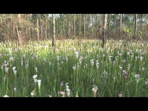 Sarracenia leucophylla at Splinter Hill Bog Preserve (Alabama)