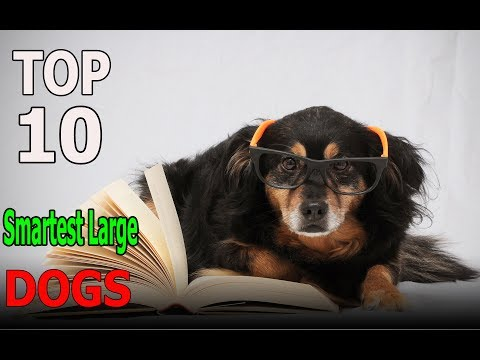 Top 10 Smartest Large Dog Breeds | Top 10 animals