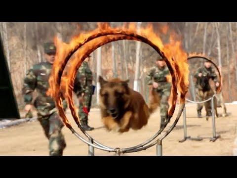 Military Dog Championship Held to Enhance Skills