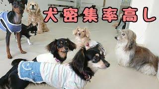 トイプードル コタローくん ミニチュアピンシャー BOBBYくん ミニチュア...