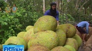 เกษตรสร้างชาติ : ขนุนทองประเสริฐ จ.ระยอง มาตรฐานส่งออก | สำนักข่าวไทย อสมท
