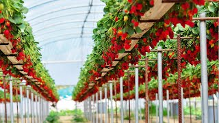 Awesome Hydroponic Strawberries Farming - Modern Agriculture Technology - Strawberries Harvesting