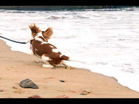 Lilly the Cavalier's first time at the sea! | Cavalier King Charles Spaniel Lilly