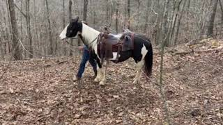 SOLD Jax. Very well broke spotted gaited gelding for sale