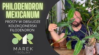 Philodendron mexicanum - prosta roślina kolekcjonerska, dobra dla początkujących