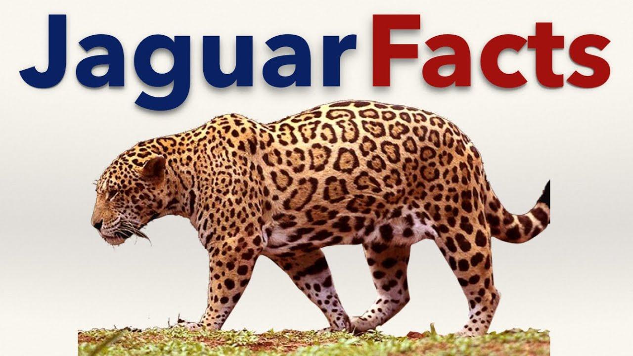 Jaguar Facts   YouTube