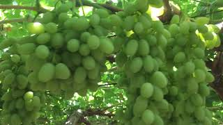 Виноград и Райский сад в Гулистане, Узбекистан