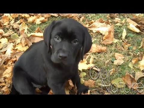 Cutest Lab Puppies Compilation 2018
