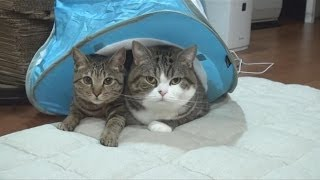 水色テントとねこ。-Light blue tent and Maru&Hana.-