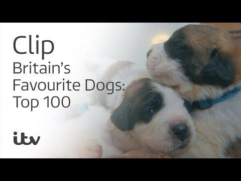 Britain's Favourite Dogs: Top 100 |Britain's Largest St. Bernard Litter! | ITV