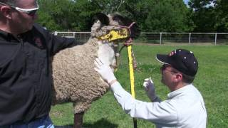 How to Draw A Blood Sample from a Sheep or Goat.