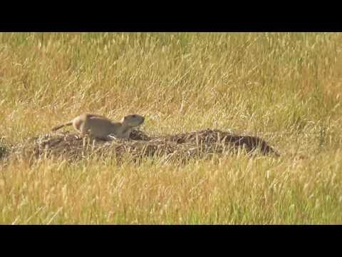 The BEST Prairie Dog Shooting Video