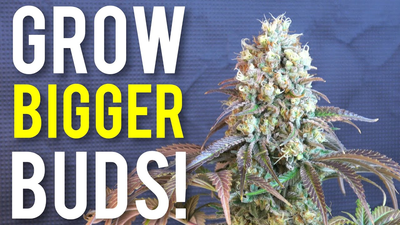Download 5 Tips To Increase Cannabis Plant Yields