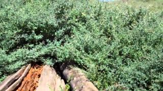 Video Video Oct17 917pm thorny bushes download MP3, 3GP, MP4, WEBM, AVI, FLV Desember 2017