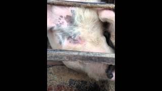 妊娠しないので、お肉にしちゃいます…。今までたくさん子豚を生んでくれ...