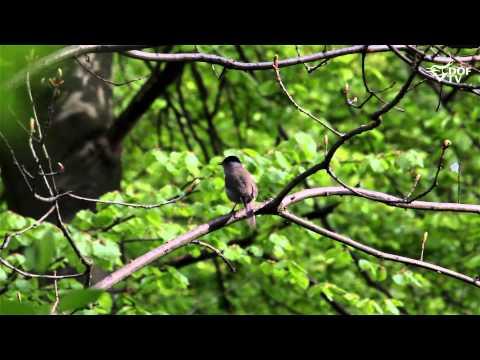 Munk - sådan synger danske fugle