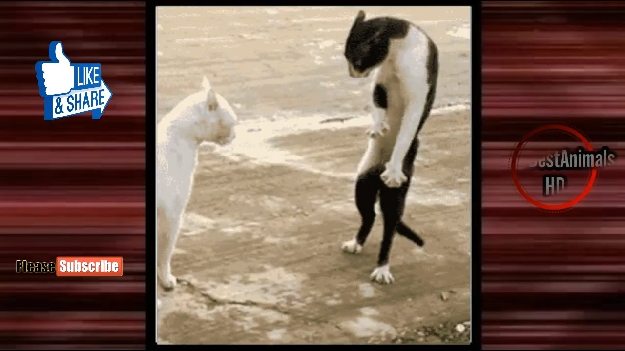 Cat Doing Funny Things Videos Funny Cat Gifs Compilation Part 3
