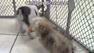 Miniature Schnauzer, Puppies, For, Sale, In, Indianapolis, Indiana, In, Valparaiso, Goshen, Westfiel