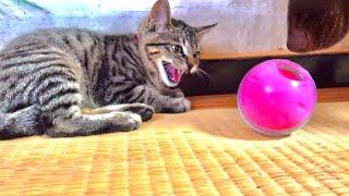 子猫に知育おもちゃを与えてみると。。