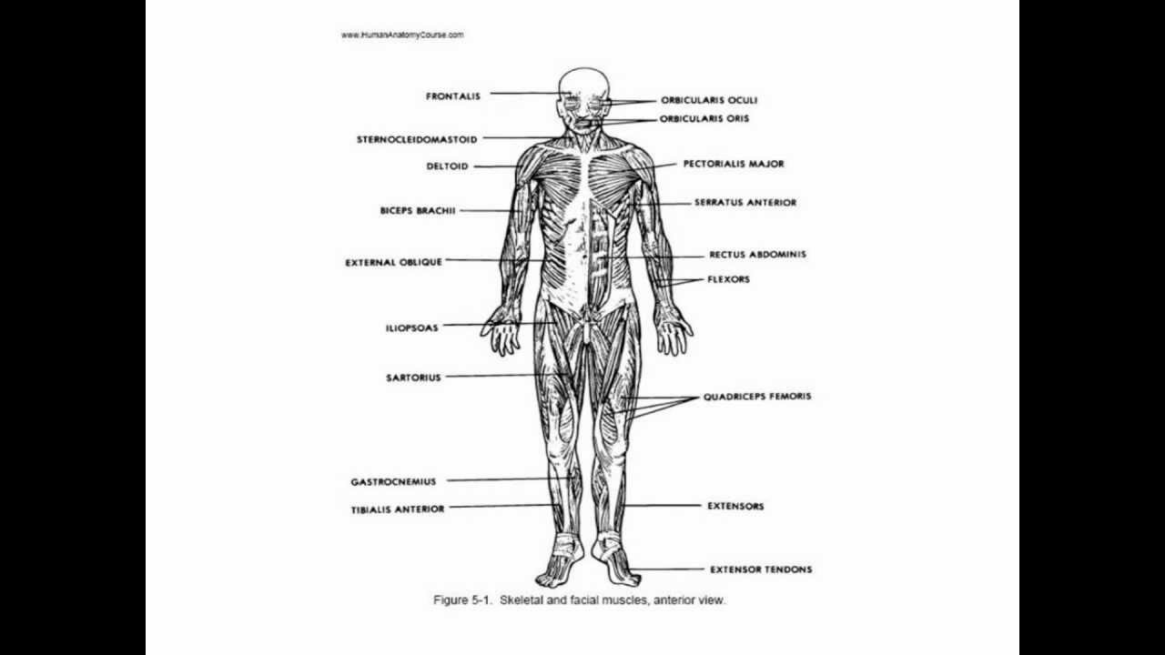 Essentials Of Human Anatomy And Physiology Diagrams - All Kind Of ...
