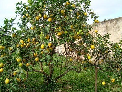 Como fazer a poda do limão