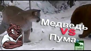 Опасные животные. Дикие животные. Пума против медведя