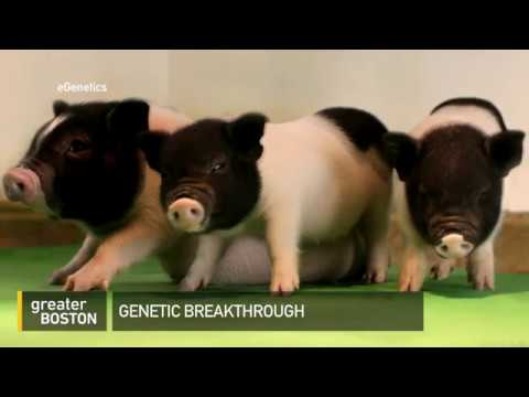 How Gene Cloning In Pigs Could Help Humans Fight Disease