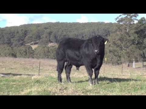RED ROCK LIMOUSINS 2013 Bull sale Lot 3 and 4