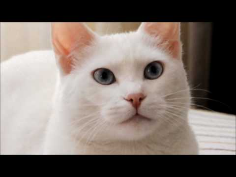 Turkish Van Cat Ponpon SERTESEN - 'Just before the Sleep'