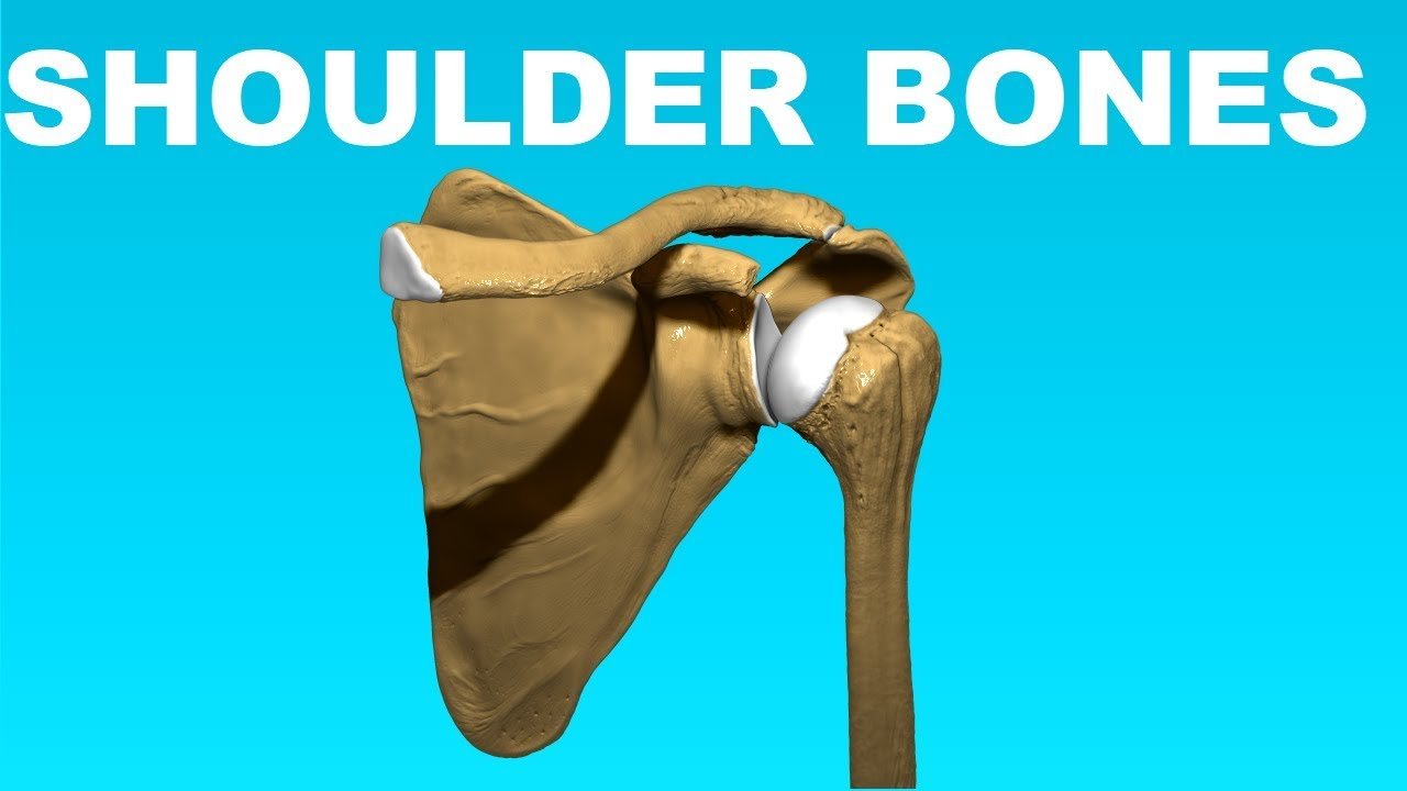 Shoulder Anatomy Overview Clavicle Humerus Scapula Bones 4