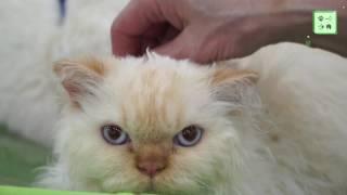 Селкирк-рекс. Владельцы о кудрявой породе кошек.