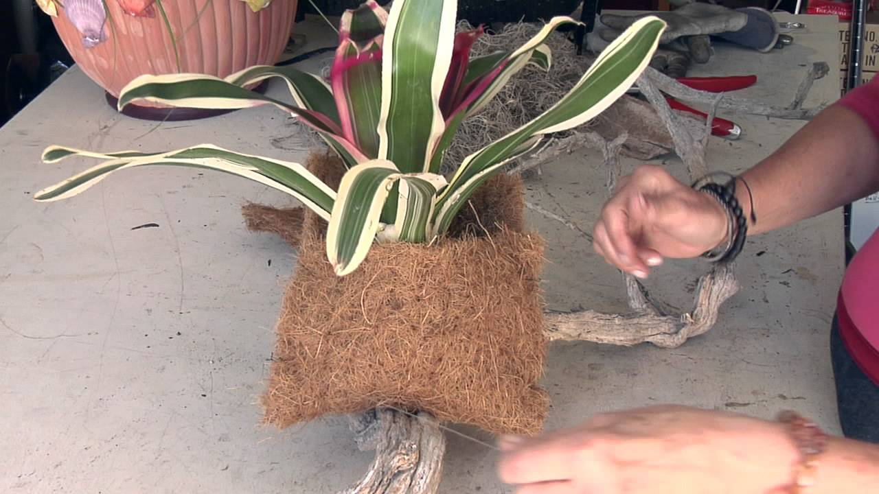 How To Hang A Bromeliad Plant On Driftwood Great