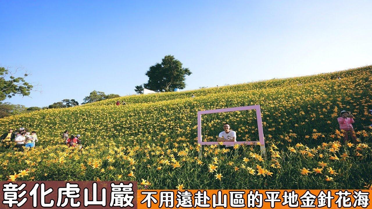 彰化虎山巖金針花大盛開!不用遠赴花東山區就可以看到金針花海,整片山坡宛如黃金地毯