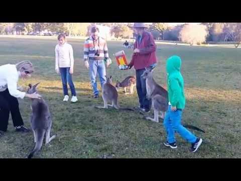 Wild Kangaroo Feeding Near Sydney