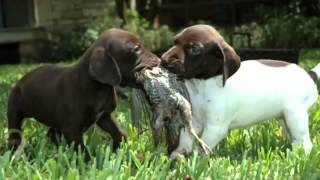 60 Seconds Of Cute German Shorthaired Pointer Puppies!