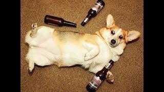 Собака напилась в хлам. Dog drunk.