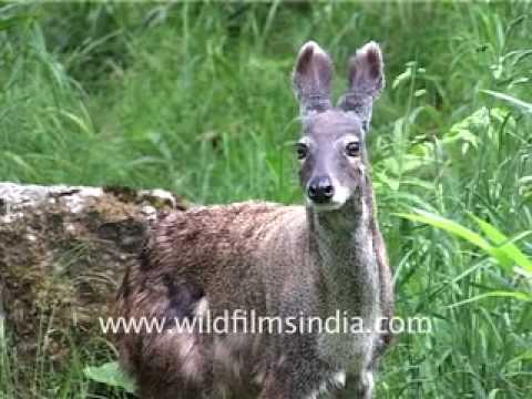 Musk Deer Of The Himalaya Youtube