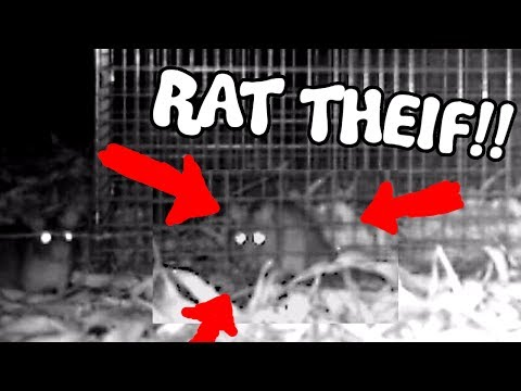 Thumbnail: THIEVING RATS - Save the Squirrels Initiative