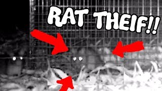THIEVING RATS  - Save the Squirrels Initiative