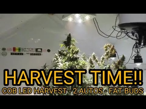 Optic 4 COB LED Autoflower Harvest – Glueberry OG, Auto Extreme & Auto Blue Dream – 2 Phase Harvest