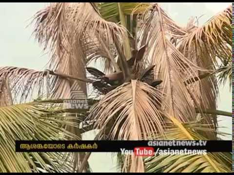 Unknown diseases to coconut tree in High range areas calicut