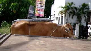 Cow on motorcycle in Philippines