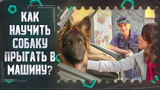 Страх перед прыжком,или как научить собаку прыгать в машину(Немец Верни)